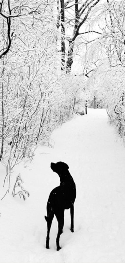 Black Lab on winter's day!