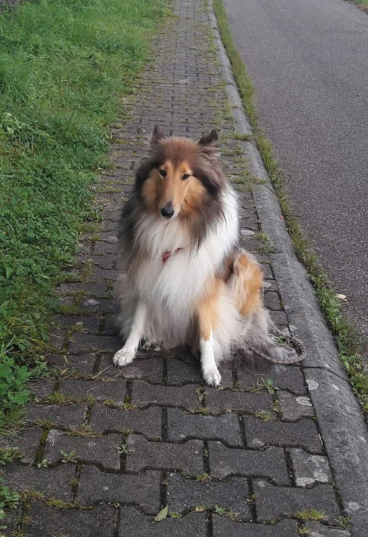 Pin By Renata Lopes On Collie Rough Collie Sheltie Shetland Sheepdog