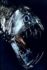 The viper fish, found about a mile under the sea.