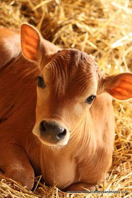 Cows - Burnett's Land of Milk and Honey