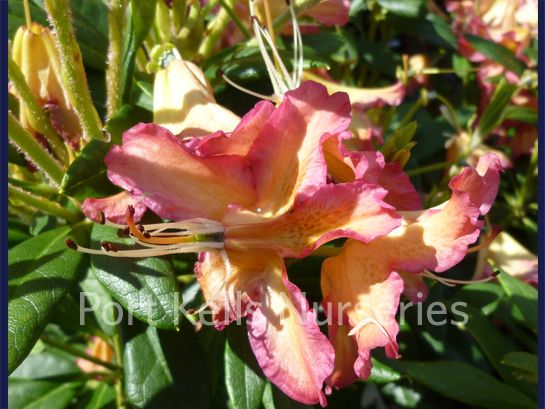 Rhododendron 'Golden Gate'