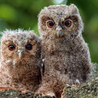 Sunda scops owlets. Cute!