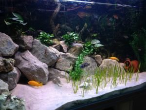 planted rocky malawi aquarium