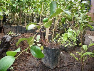 Supplier Bibit Pohon Buah: JUAL BIBIT POHON BUAH