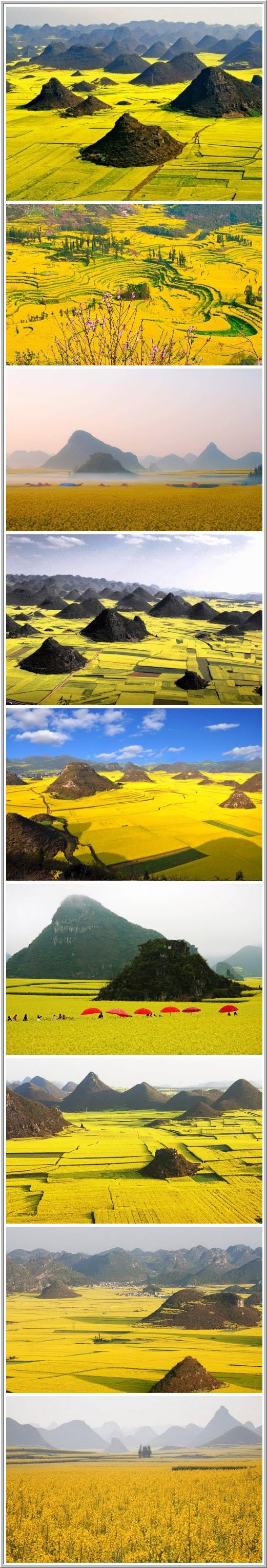 Flowering canola - City of Huangshan, located in eastern China
