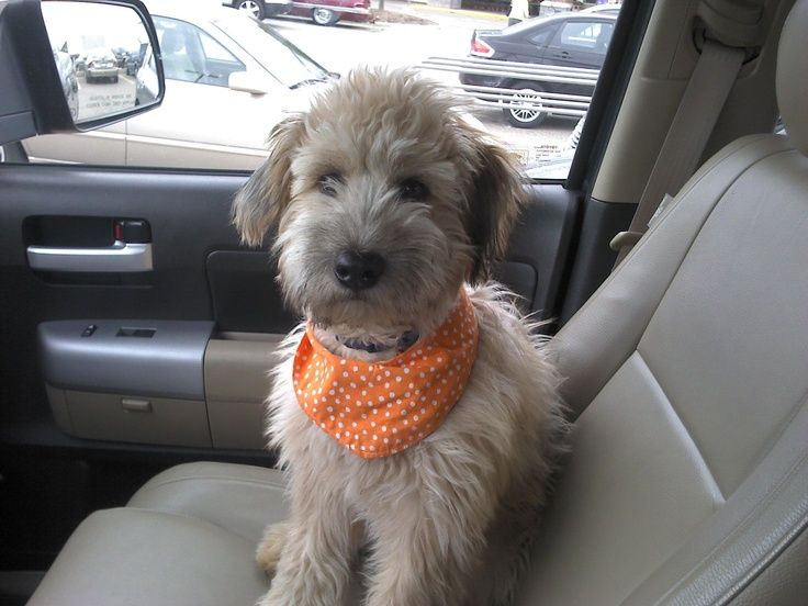 Our cute 5 month-old super, smart Whoodle puppy, ready for a Fall outing! (hypoallergenic & doesn't shed!)