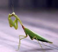 Praying Mantis, Insects, Spirit-Animals.com