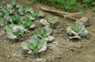 Древесная зола – органическое удобрение и средство борьбы с вредителями
