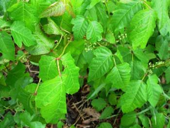 Home Remedies for Poison Ivy (Including Plain Hot Water?)  http://www.thesurvivaldoctor.com/2012/06/14/poison-ivy-home-remedies/#