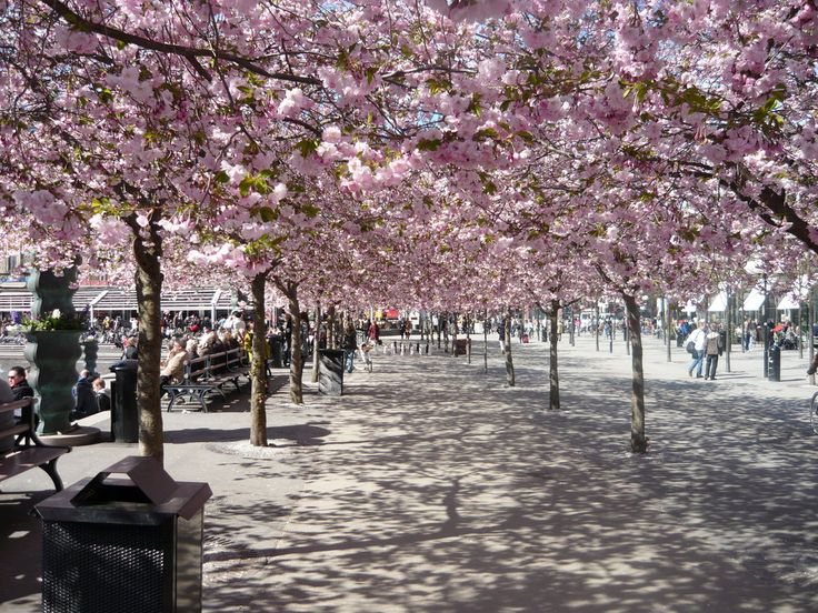 Japanese Cherry Blossom Trees In Kungstradgarden Stockholm Japanese Cherry Blossom Cherry Blossom Tree Cherry Blossom Japan