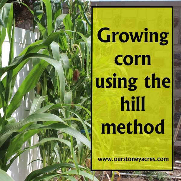 Growing corn using the hill method is a simple way to grow small amounts of corn in a garden that otherwise wouldn't have the space for a large corn crop.