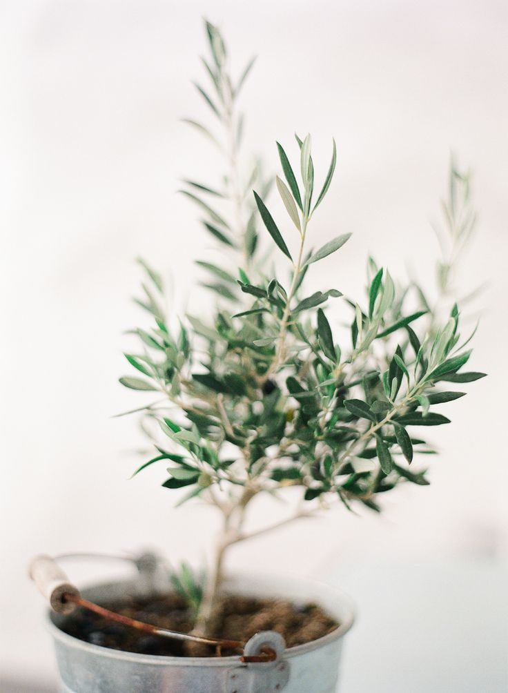 17 best images about olive tree on pinterest planters for Olive trees in pots winter care