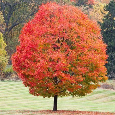 Sugar Maple Tree on Fast Growing Trees Nursery