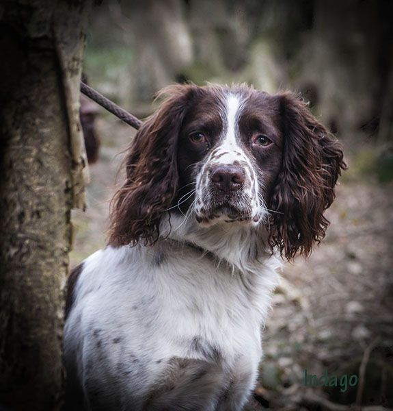 Dove Valley Working Gun Dog Club – Springer Spaniel Training | Indago Dog Photography