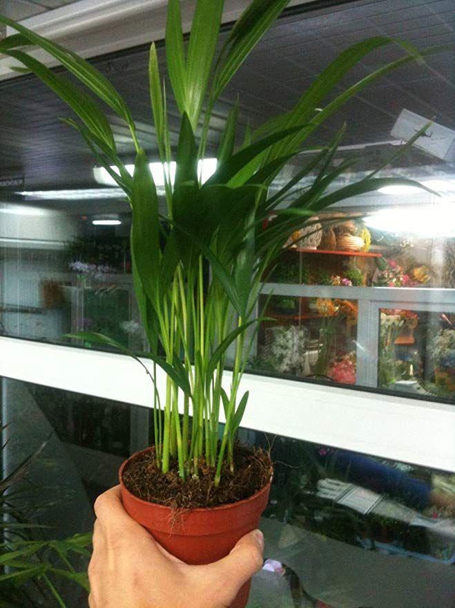 Amazon Com Live Areca Palm Plant Fit 4 Pot Foliage Houseplant Easy To Grow Garden Outdoor Palm Plant Care Areca Palm Plant Palm Plant