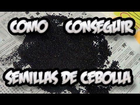 Como Conseguir Semilla De Cebolla || Semillas Organicas || La Huertina D...