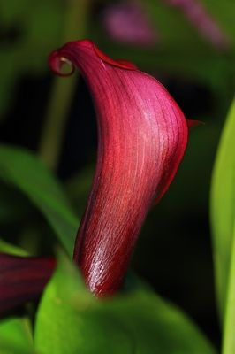Red Majestic Calla Flower