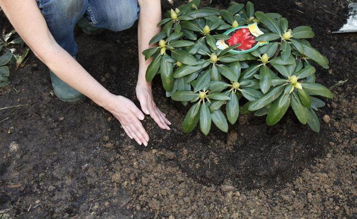 Rhododendron richtig pflanzen