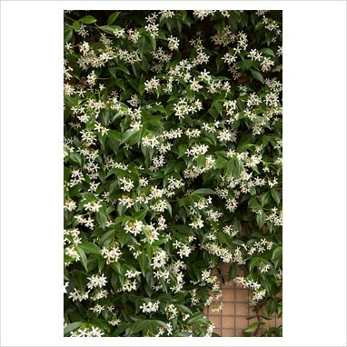 Trachelospermum jasminoides: The Garden, White Flowers, Fence, Exterior House, Compost Area, Garden, House Side Pool, Especies Para