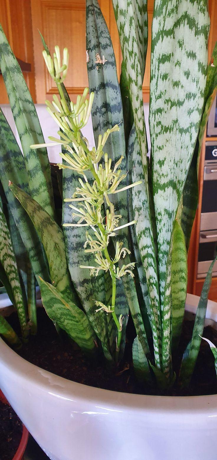 Mother in laws tongue in flower in 2020 indoor plants
