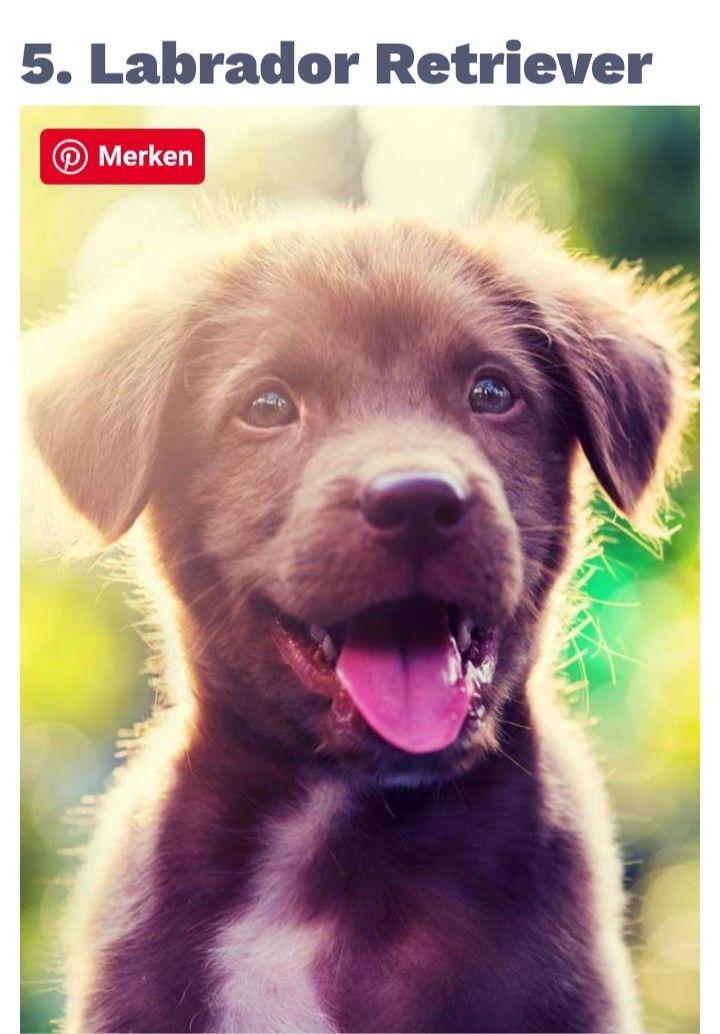 Pin Von Sili Heiler Auf Lustig Hunderassen Retriever Welpen Hunde