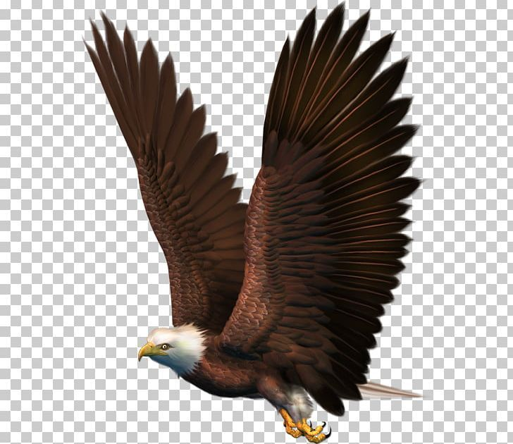 Bird Bald Eagle Png Accipitridae Accipitriformes Animals Bald Eagle Beak Bald Eagle Bird Eagle