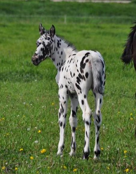 ADORABLE leopard appy filly