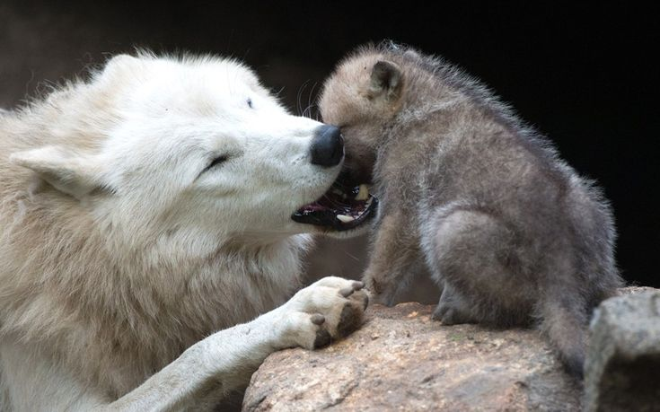 A wolf plays with a one-month-old puppy in its enclosure of Berlin's Zoo