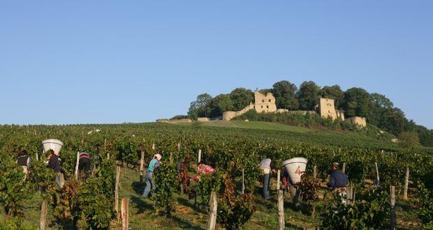 Vendanges au château d'Arlay