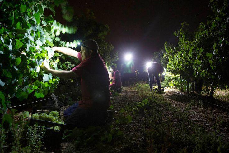 La vendimia nocturna de Príncipe de Viana ya está en marcha en Cadreita