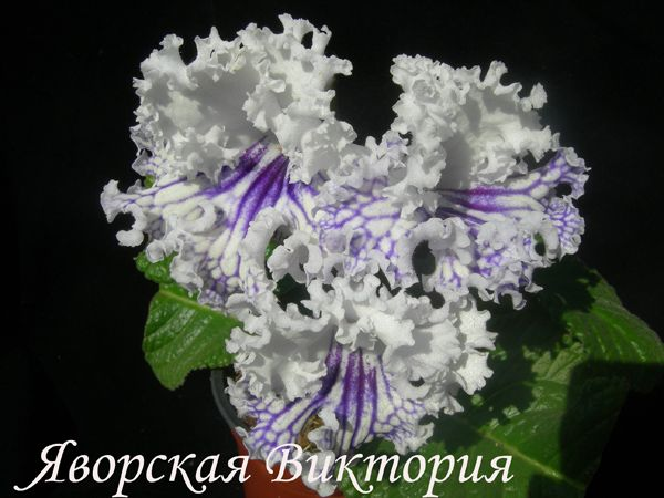 109 best streptocarpus images on pinterest. Black Bedroom Furniture Sets. Home Design Ideas