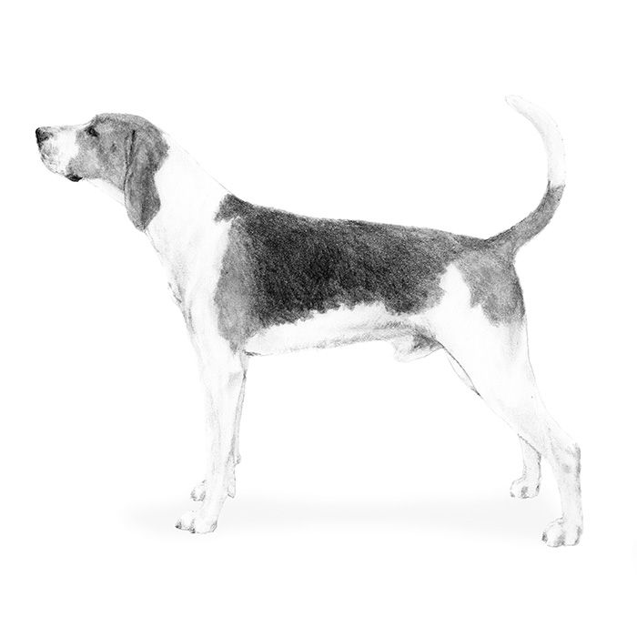 Treeing Walker Coonhound breed standard: Smart, brave, and often described as sensible and courteous.