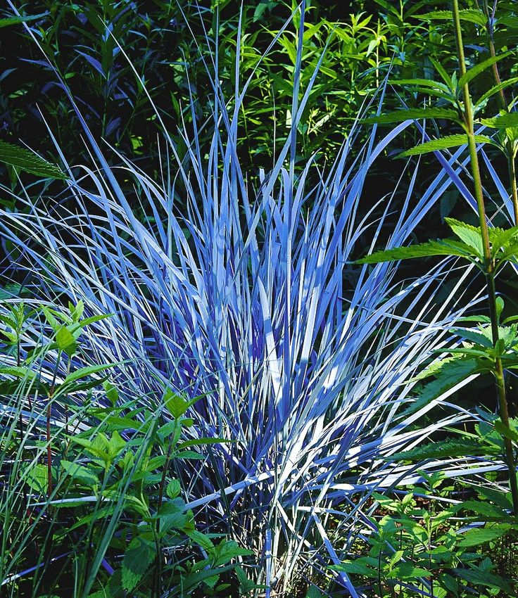 #Ziergras #Elijah Blue Mit seinen stahlblauen Halmen ist dieses Ziergras zu jeder Jahreszeit ein Blickfang und setzt extravagante Kontraste in Ihrem Staudenbeet! Absolut anspruchslos und bildet schöne Horste.   Bei der Wahl des Standortes sollte ein sonniger Platz bevorzugt werden. Auch im Halbschatten gedeihen die Pflanzen noch. Der Boden sollte humos, feucht und durchlässig sein. Auch wenn Ziergräser dort am allerbesten wachsen, gedeihen sie praktisch überall.