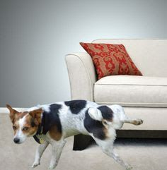 Pet Urine Removal from carpets.