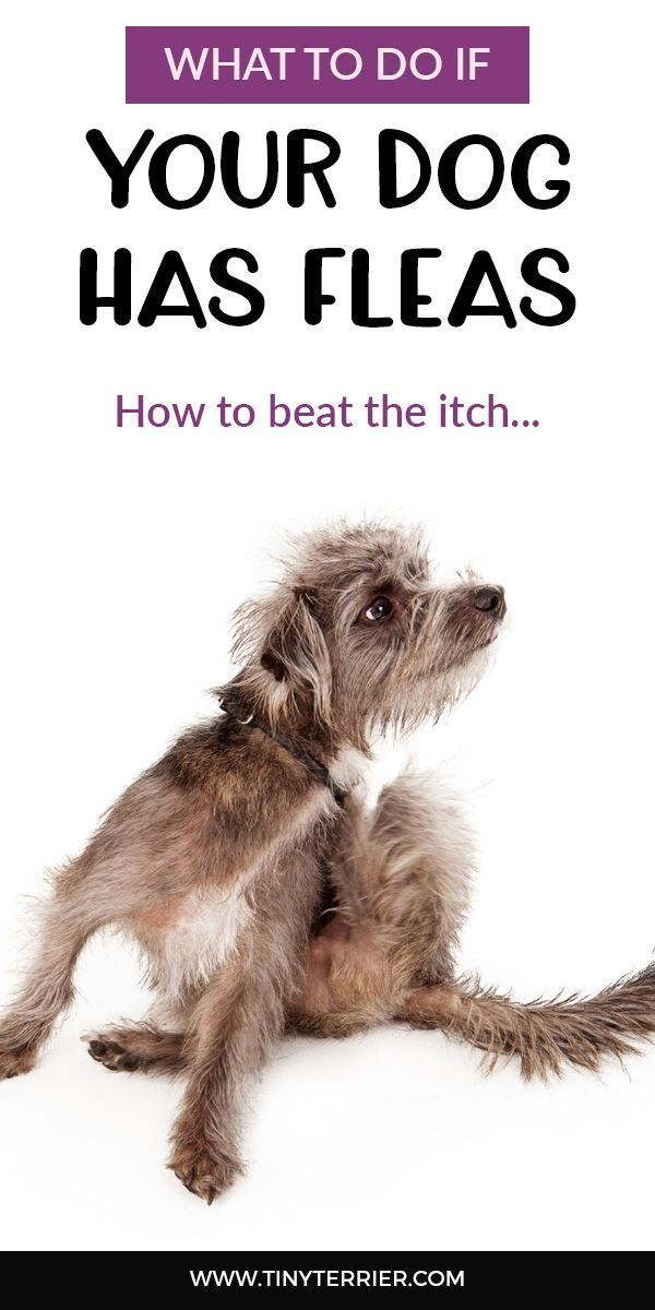 What To Do If Your Dog Has Fleas Help My Dog Has Fleas In 2020 Dogs Your Dog Fleas