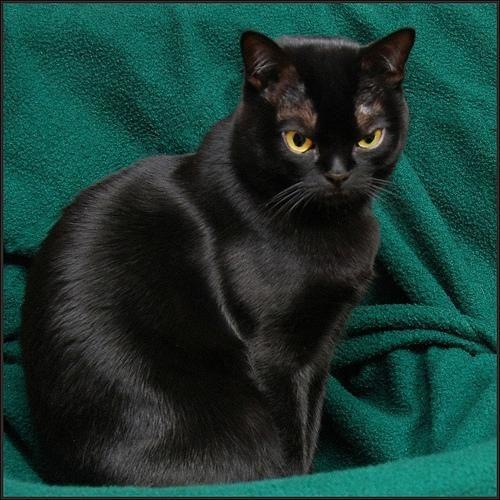 Bombay Cat | Бомбейская кошка (Bombay Cat), порода ...