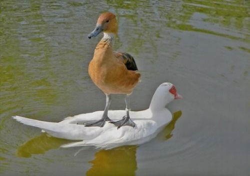 Duck on duck #Funny #AnimalsLike A Boss, Animal Pictures, Free Riding, Ducks, Funny Stuff, Humor, Funny Animal, Birds, Feathers Friends