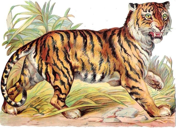 Oblaten Glanzbild scrap die cut chromo Tiger XL 18cm african exotic animal