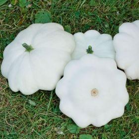 MUSSELSQUASH 'Custard White' i gruppen Grönsaksväxter / Fruktgrönsaker / Squash hos Impecta Fröhandel (96560)