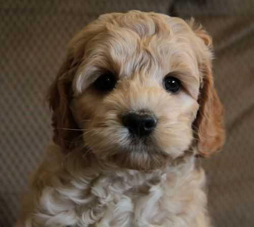 67 Best Cockapoo Puppies Images On Pinterest -4329