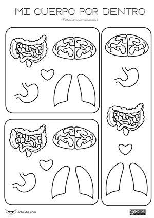 Organos internos