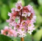 P3 Bergenia 'Baby Doll' smaller form of Bergenia Position: full sun or partial shade Soil:any moist, well-drained soil Rate of growth: average to fast Flowering period: April to May Flower colour: soft-pink Hardiness: fully hardy H: 30cm S: 30cm Fresh green, often bronze-tinted leaves form tidy, compact clumps topped with branching sprays of blush-pink flowers. The colour of the flowers intensifies as they mature & the red-flushed stems & sepals form an attractive contrast.