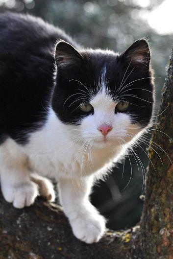 Beautiful Face!  Love Tuxedo Cats!