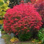Burning Bush Growth Information: Burning Bush Care And Maintenance