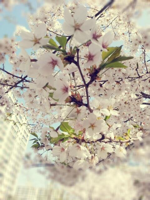 집 앞 벚꽃