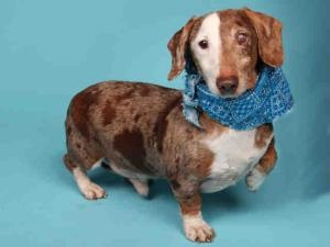 LOGAN is an adoptable Dachshund Dog in Saint Louis, MO.  ...