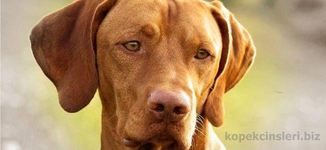 Vizsla Av Köpeği, Köpek Cinsleri