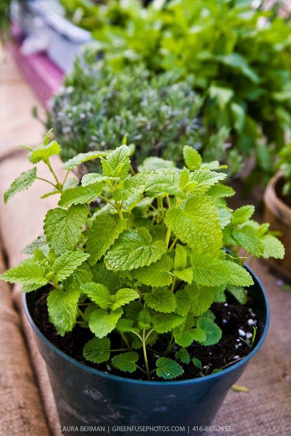 April's garden: Nyugtató a kertből: a sokoldalú citromfű