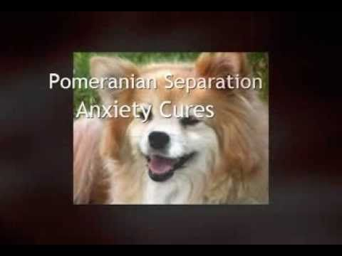 Pomeranian Separation Anxiety Cures