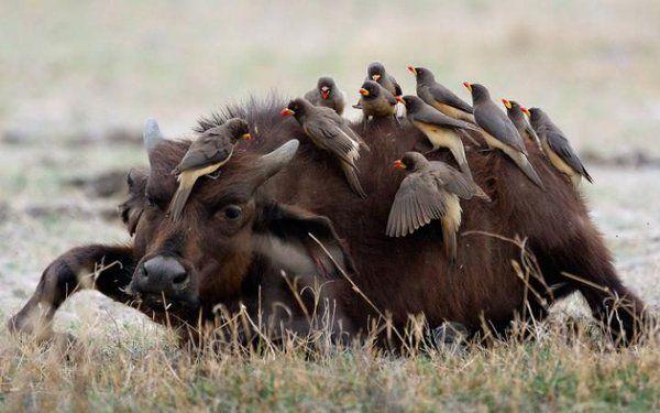 Una decena de picabueyes han decidido limpiar a este pequeño búfalo en Duba, Botswana (Kobus Saayman, 2016)